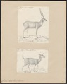 Cervus axis - 1700-1880 - Print - Iconographia Zoologica - Special Collections University of Amsterdam - UBA01 IZ21500336.tif
