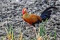 Ceylon Junglefowl (Gallus lafayetii).jpg
