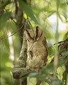 Ceylon bay owl.jpg
