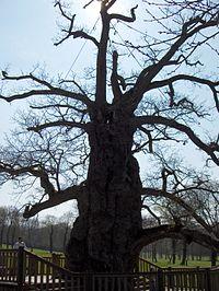 Le chêne de Guillotin