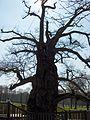 Chêne de Guillotin.jpg