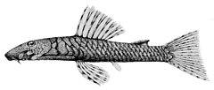 Chaetostoma marcapatae.jpg