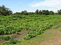 Chailey Common - geograph.org.uk - 1391050.jpg