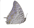 Charaxes solon.png