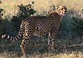 Cheetah, Acinonyx jubatus, at Pilanesberg National Park, Northwest Province, South Africa. (26977263543).jpg