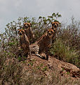 CheetahsSerengetiNationalParkApr2011.jpg