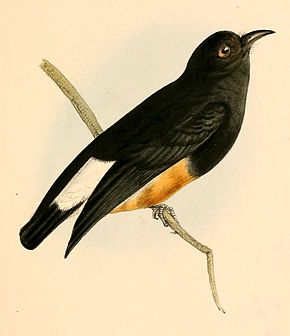 Description de l'image  Chelidoptera tenebrosa 1841.jpg.
