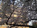 Cherry Blossoms in Hakozaki Campus, Kyushu University 20140328-3.JPG