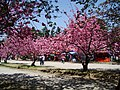 Cherry Blossoms in Hirosaki castle park - panoramio - MAKIKO OMOKAWA.jpg
