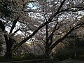 Cherry blossoms in Nishi Park 5.JPG
