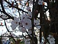 Cherry tree blossoms, Omagh - geograph.org.uk - 1209522.jpg