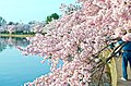 Cherry trees overflowing into the Tidal Basin - 2013-04-09 (8635834296).jpg