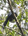 Chestnut-bellied Malkoha (Phaenicophaeus sumatranus) - Flickr - Lip Kee.jpg