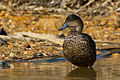 Chestnut Teal female (Anas castanea) (9284228834).jpg