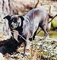 ChihuahuaPetey.jpg