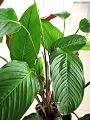 Chikwangue leaf wrap - Haumania liebrechtsiana plant.jpg