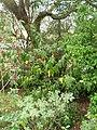 Chimonanthus yunnanensis W.W.Sm. (AM AK312877-1).jpg