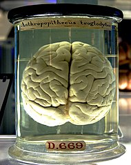 A chimp brain floating in a jar