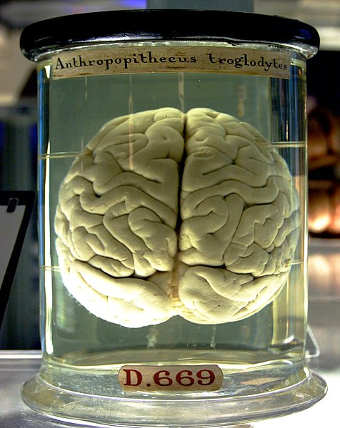 File:Chimp Brain in a jar.jpg