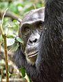 Chimpanzee, Kibale, Uganda (15404383780).jpg
