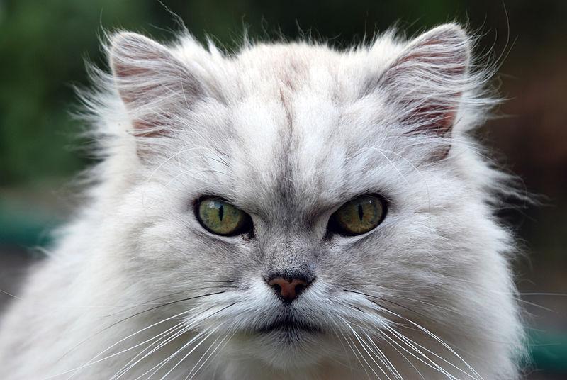 Chinchilla Cat For Sale In Pakistan