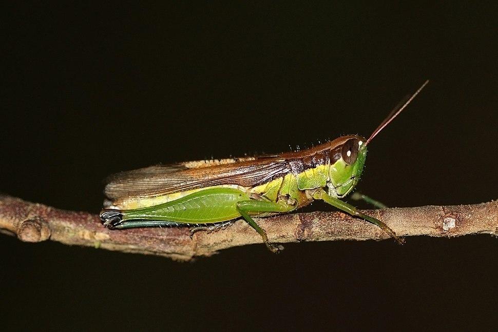 Chinese rice grasshopper (Oxya chinensis)