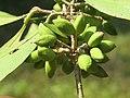 Chionanthus mala-elengi at Aralam WLS (5).jpg