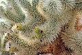 Cholla Cactus Garden, Joshua Tree National Park, California, January 2015 - panoramio.jpg