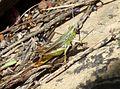 Chorthippus apicalis. Male. - Flickr - gailhampshire.jpg