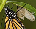 Chrysalis to Butterfly (-3 of 5) (6879979142).jpg
