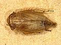 Cicadellidae sp. (42102244005).jpg