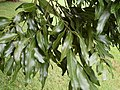 Cinnamomum oliveri - leaves Foxground.JPG