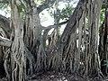Citi Botanic Gardens. Brisbane.Брисбен. Городской ботанический сад. Австралия - panoramio.jpg