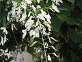Cladrastris-fleurs-02.JPG