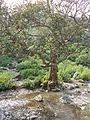 Classic tree.JPG