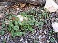 Claytonia perfoliata ssp intermontana 1.jpg