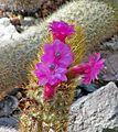 Cleistocactus icosagonus 2.jpg
