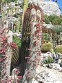Cleistocactus strausii (Eze).jpg