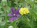 Clematis Fukuzono ^ Phlomis crinita - Flickr - peganum.jpg