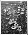 Close up of the Ramneya Coulterii Matilija poppy, ca.1920 (CHS-5227).jpg