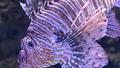 Clownfish (39637746051).png