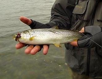 Coastal cutthroat trout - Image: Coastal cutthroat trout Puget Sound