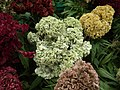 Cockscomb from Lalbagh flower show Aug 2013 8430.JPG