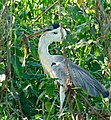 Cocoi Heron (Ardea cocoi) with catfish ... (31690457712).jpg