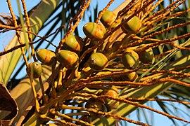 Cocos nucifera from Villupuram dt IMG 3891.JPG