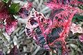 Codiaeum variegatum Tortoise Shell 0zz.jpg