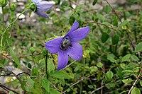 Codonopsis-grey-wilsonii-flower