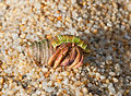 Coenobita clypeatus - Caribbean hermit crab.jpg