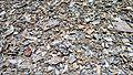 Collomia debilis in scree habitat - Flickr - brewbooks.jpg