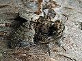 Colocasia coryli - Nut-tree tussock - Совка-шелкопряд (41099127961).jpg